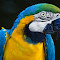 Blue and Yellow Macaw-6.jpg