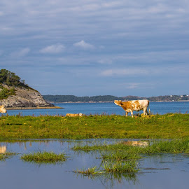 Herdla by Espen Rune Grimseid - Landscapes Waterscapes ( water, canon, nature, grass, herdla, reflections, landscapes, cows, norway )