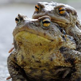 Wedding day by Victor Teodorescu - Animals Amphibians ( macro, big frog, frog, ritual, mating, pond, brat,  )
