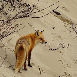 Fox on the Beach by Tarea J Roach-Pritchett - Animals Other Mammals ( sand, fox, state park, beach, red fox )