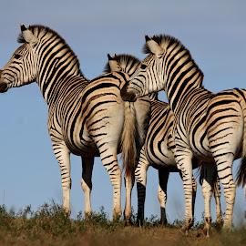 Keeping watch by Gail Camons Erasmus - Animals Other Mammals ( zebra, stripes, zebras, mammals, nature, wildlife )