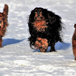 Dogs running in the snow by Camilla Uddgren - Animals - Dogs Playing ( dogs, dogs playing, dog portrait, dogs running )