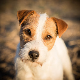 One of my Jack Russell Terriers by Amy Humphrey - Animals - Dogs Portraits