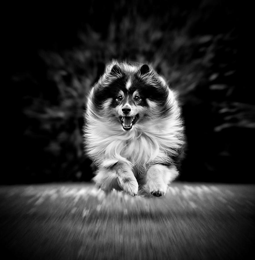 by Jane Bjerkli - Black & White Animals ( playing, pet, shetland sheepdog, fur, dog, sheltie, running, , black and white, animal )