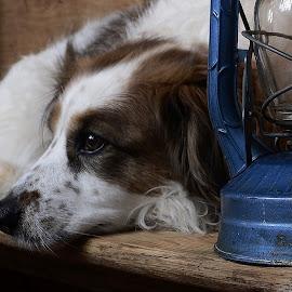 Ridin' on the City of New Orleans by Tim Hall - Animals - Dogs Portraits ( lantern, antique lantern, spaniel, railroad lantern, dog )