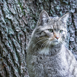 The wild cat by Ruth Chudaska-Clemenz - Animals - Cats Portraits ( wild, cat, freedom, nature )