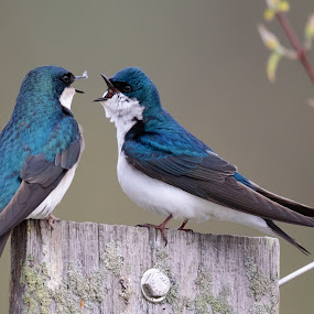 Morning Chitter Chatter by Susan and Arwinder Nagi - Animals Birds ( ohio wildlife, lovely, nature, nature scenes, birds of ohio, birds, birding, birds of north america, shooting nomads, nature images, beautiful, dharmiclight photography, perching birds, blue birds, swallows, wildlife, tree swallow,  )