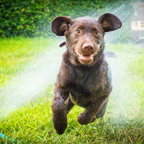 I feel so alive! by Meaghan Browning - Animals - Dogs Running ( water, chocolate, sprinkler, labrador, running )