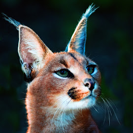 Caracal by Claudia Lothering - Animals Lions, Tigers & Big Cats