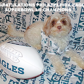 Congratulations Philadelphia Eagles! by Cheryl Beaudoin - Typography Captioned Photos ( football, superbowl, green, white, lii, yorkiepoo, philadelphia, dog, typography, eagles, congratulations )