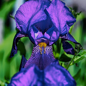 Close view by Radu Eftimie - Flowers Single Flower ( purple, blue, iris,  )