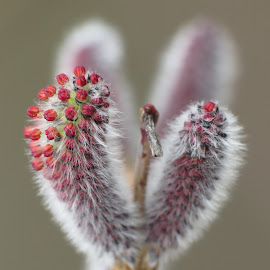 A catkin by Simona Maček - Nature Up Close Other plants
