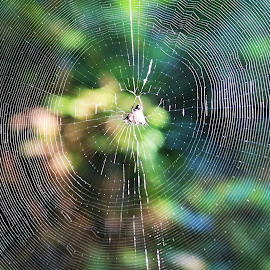 Spiderweb  by Barbara Horner - Nature Up Close Webs ( macro, nature, spiderweb, web )