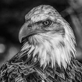 Dollar by Garry Chisholm - Black & White Animals ( bird, prey, raptor )