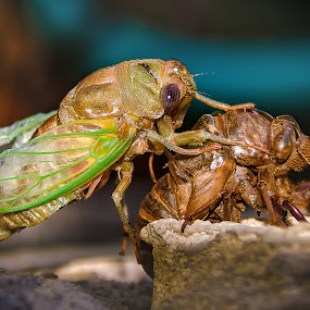 Out With The Old by Shaun Poston - Animals Insects & Spiders ( shed, macro, locust, bug, pwcinsects&spiders, cicada, molting, insect, exoskeleton )