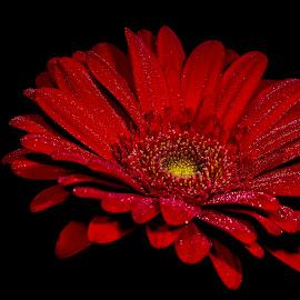 by Setiawan Halim - Flowers Single Flower