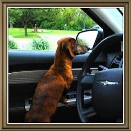 It's a doggie dog world!  by Kim  Bilodeau - Animals - Dogs Portraits ( love, amazing, drive, dog, animal )