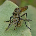 Golden-tabbed Robber Fly