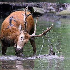 Mud Bath by John Larson - Animals Other Mammals