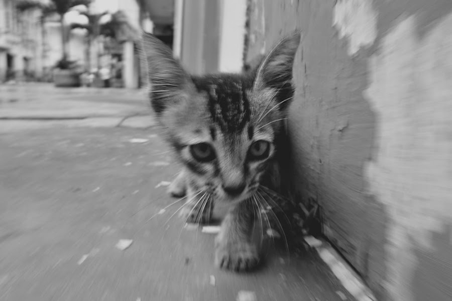 Slow Motion Walking Cat in the Street by Irfan Maulana - Animals - Cats Playing ( cat, street, slowmotion )