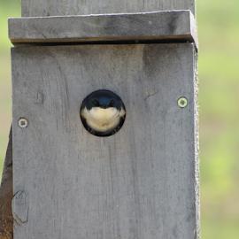 Nosy Neighbour by Dan Blair - Novices Only Wildlife ( bird, face, bird house, house, eyes )