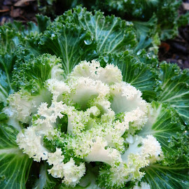 Curly Kale by Kathy Rose Willis - Nature Up Close Gardens & Produce ( greens, water drops, green, kale, white, garden, produce,  )