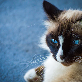 Franky Pussycat by Jodie Graham - Animals - Cats Portraits ( ragdoll, cat, blue, burmese, eyes )