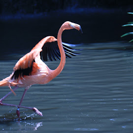 Flamingo Flapping Wings by Michael Loi - Novices Only Wildlife ( flamingo, sg, bird park )