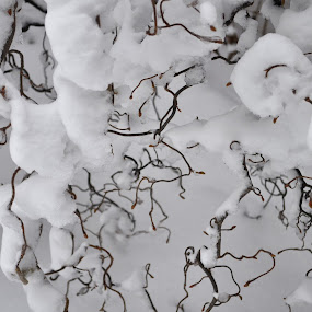 Snowy Bush by Kristina Weber - Nature Up Close Trees & Bushes ( twisted, winter, snow, branches )