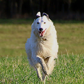 Happy Boy by Chrissie Barrow - Animals - Dogs Running ( field, grass, long haired, pet, white, ears, fur, legs, dog, lurcher, running, black )