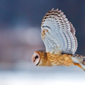 Hunting Barn Owl by Herb Houghton - Animals Birds ( bird of prey, barn owl, owl, raptor, herbhoughton.com )