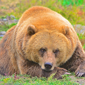 Fat Happy by  J B  - Animals Other Mammals ( grizzly, bear, canada, hibernation, grizzly bear )