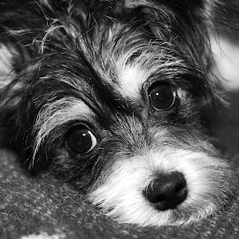 Frankie6 by Frank Beaudoin - Animals - Dogs Puppies ( breed, b&w, poodle, black & white, puppy, terrier, dog, chihuahua, small )