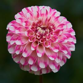 Dahlia 8682~ by Raphael RaCcoon - Flowers Single Flower