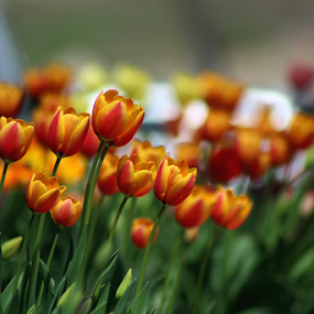 Tulips #2 2018 by Tony Huffaker - Flowers Flower Gardens ( colors, tulips, flowers, garden )