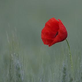 by Radomir Perin-Rasa - Flowers Single Flower