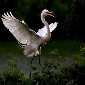 Great White Egret by William Wu - Uncategorized All Uncategorized
