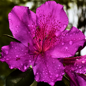 Rain Showers on the Azeleas by Teresa Wooles - Flowers Single Flower ( single flower, azalea, flowers, spring, rain,  )