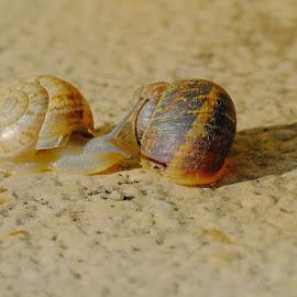 Knock, knock... by Miho Kulušić - Animals Other ( snail, close up, macro, animal, garden,  )