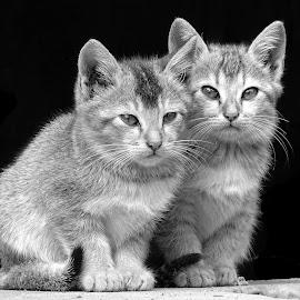 Kittens  by Asif Bora - Black & White Animals