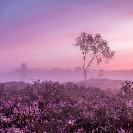 Kalmthoutse Heide by Tom Opdebeeck - Landscapes Prairies, Meadows & Fields ( tree, meadow, belgium, sunrise, golden hour )