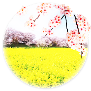 【Rape field and cherry】