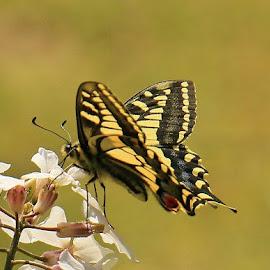 Swallowtail by Frank Gray - Uncategorized All Uncategorized