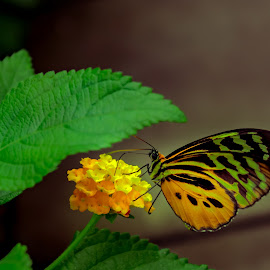 butterfly by Ton Boelaars - Animals Insects & Spiders ( butterfly, green, eating, colorfull, garden, flower )