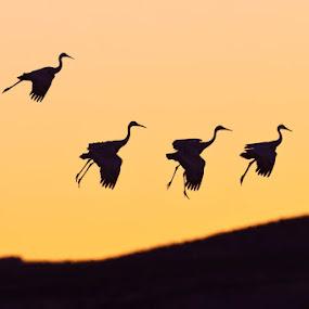 by Gorazd Golob - Animals Birds (  )