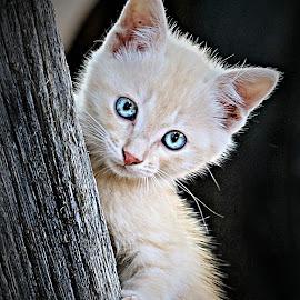 Lady Blue Eyes by Pieter J de Villiers - Animals - Cats Kittens