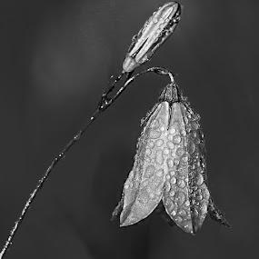 Clochette by Gérard CHATENET - Black & White Flowers & Plants