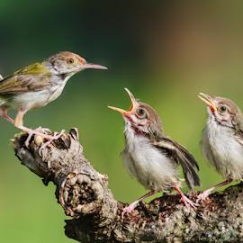 Tailorbird by Husada Loy - Animals Birds