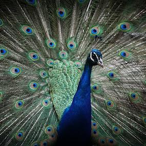 Peacock by VAM Photography - Animals Birds ( bird, zoo, nature, anmial, peacock,  )