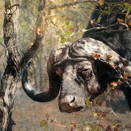 Having a Bad Hair Day by Bjørn Borge-Lunde - Digital Art Animals ( wild animal, buffalo, wilderness, nature, wildlife, africa, animal )